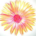 Multi-colored Daisy